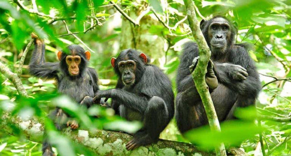 Photo of Arrestan a 4 personas en Zimbabue por intentar traficar con 26 monos de RDC